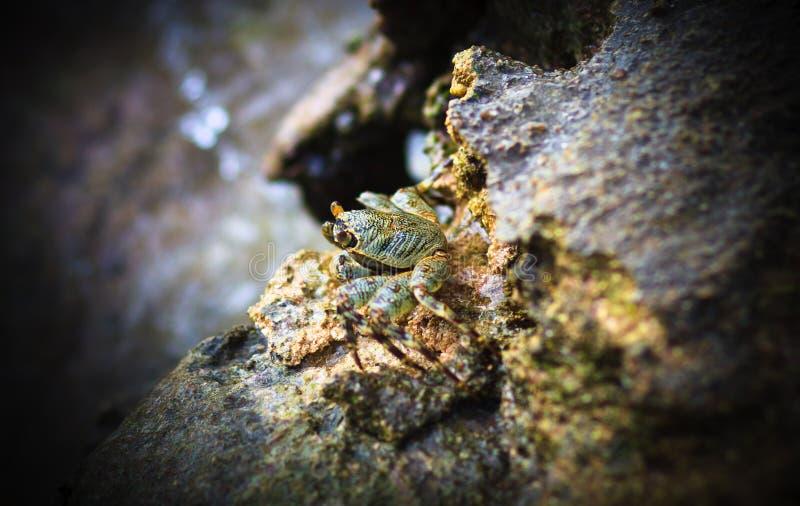 Download Green Crab Royalty Free Stock Image - Image: 21200766