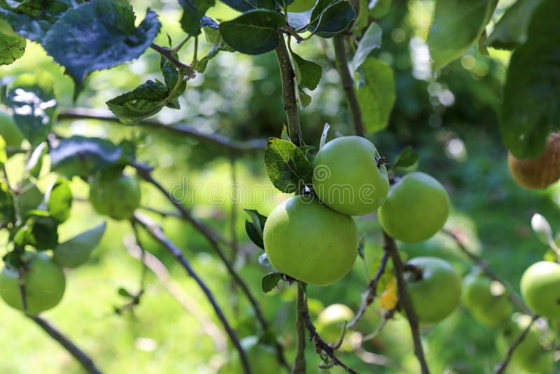 Green crab apple royalty free stock photos