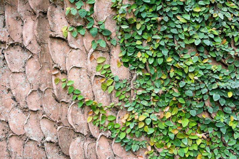 Green creeper plant on old concrete wall pattern backgroud. Texture surface stock image