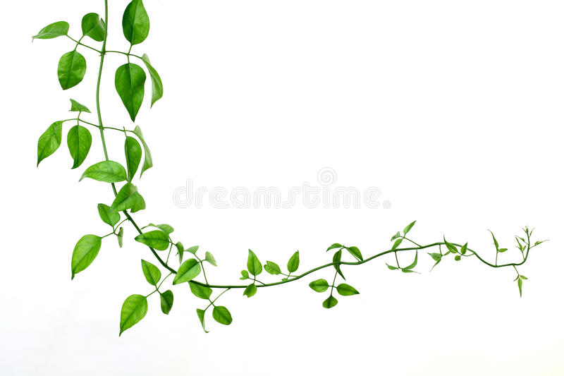 Green creeper. On a white background royalty free stock photo
