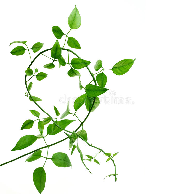 Green creeper. On a white background stock images