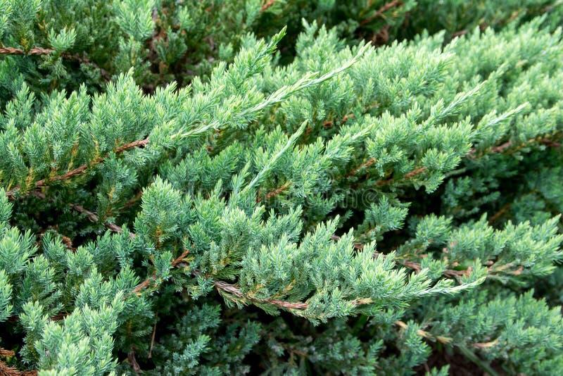Green creeping juniper branches background. Juniper horizontal stock photos