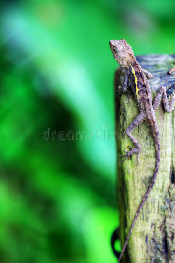 Green crested lizard stock photography