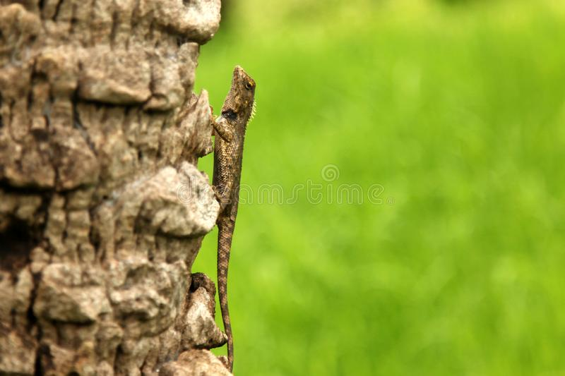 Green crested lizard, black face lizard, tree lizard,Boulenger Long headed Lizard, Pseudocalotes microlepis, masked spiny lizard. Green crested lizard, black royalty free stock photo