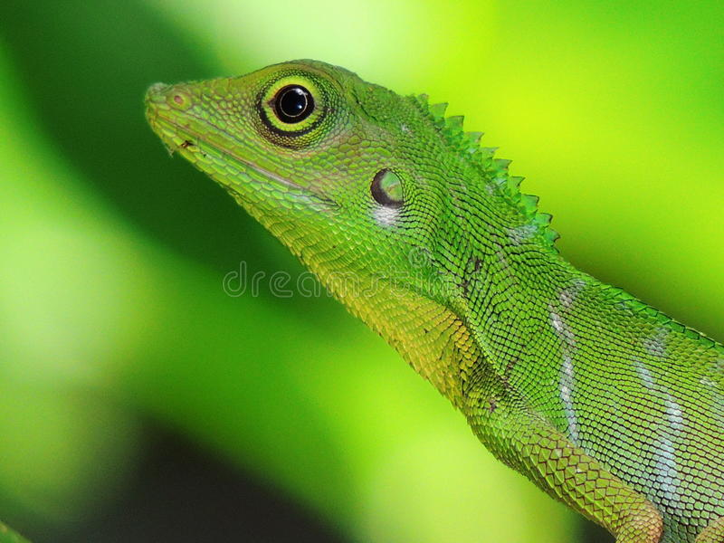 Green Crested Lizard royalty free stock image