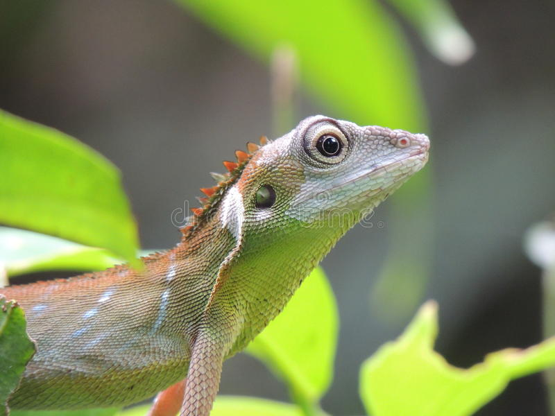 Green Crested Lizard stock images