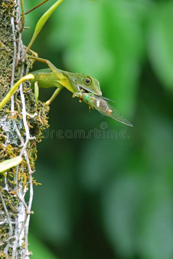 Free Green Crested Lizard On A Tree Trunk Eat Eating A Large Prey Cicada Insect Stock Photos - 181816823