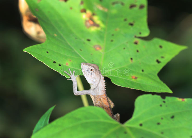 Green crested lizard. On tree stock images