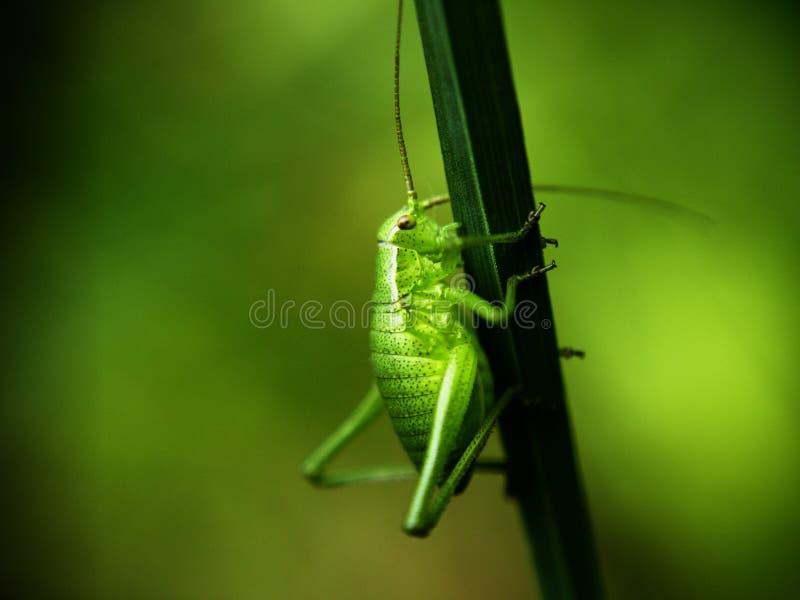 Green cricket. Close-up shot of a green bush cricket on grass stock image