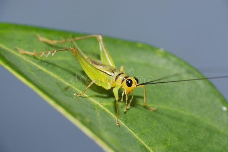 Green Cricket. In a bush in kampong Teluk Pasu, Manir, Kuala Terengganu, Terengganu stock photos