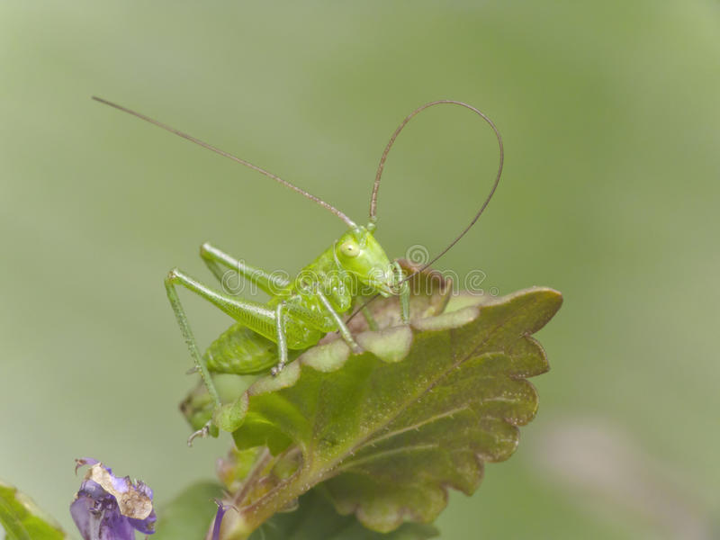 Download Green cricket stock photo. Image of wild, cricket, antropod - 24597384