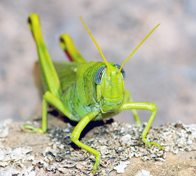 Green cricket. Macro shot of a green cricket, the focus on its head stock image
