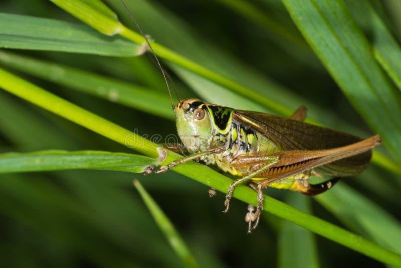 Green cricket makro closeup. A green small cricket stands on grass stem royalty free stock photos