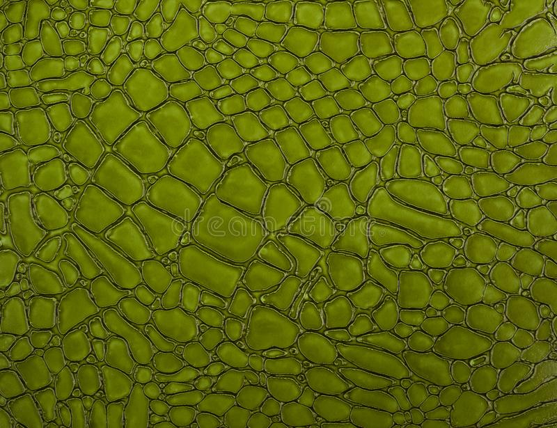 Green crocodile skin texture close-up stock images