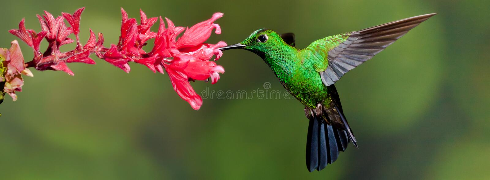 Green Crowned Brilliant