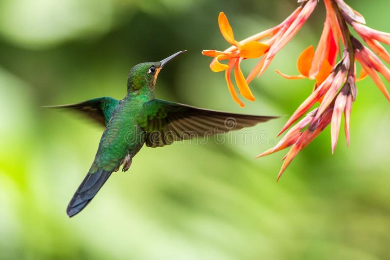 Green-crowned Brilliant, Heliodoxa jacula, hovering next to orange flower, bird from mountain tropical forest, Costa Rica. Green-crowned Brilliant, Heliodoxa stock photography
