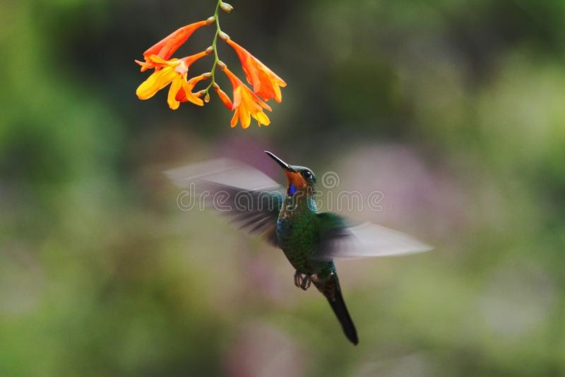 Green-crowned Brilliant, Heliodoxa jacula, hovering next to orange flower, bird from mountain tropical forest. Waterfall Gardens La Paz, Costa Rica, beautiful royalty free stock photo