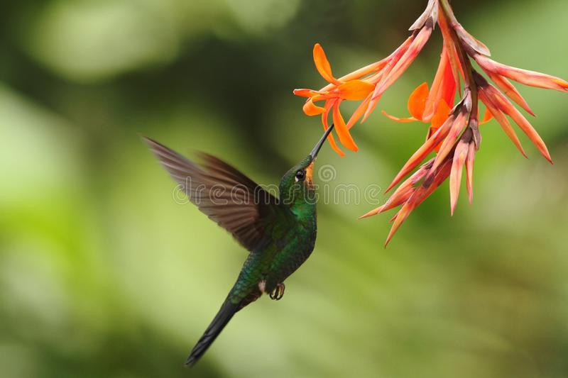 Green-crowned Brilliant, Heliodoxa jacula, hovering next to orange flower, bird from mountain tropical forest, Waterfall Gardens L. A Paz, Costa Rica, beautiful royalty free stock image