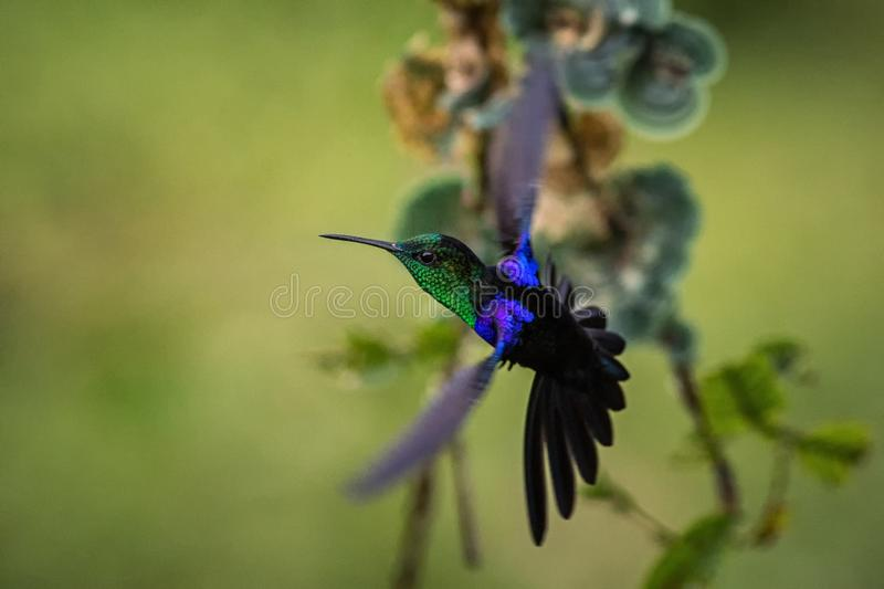 Green-crowned woodnymph hovering in the air, garden, tropical forest, Colombia, bird on colorful clear background. Beautiful hummingbird with blue throat and stock photos
