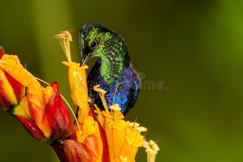 Download Green-crowned Woodnymph stock image. Image of sipping - 60081471