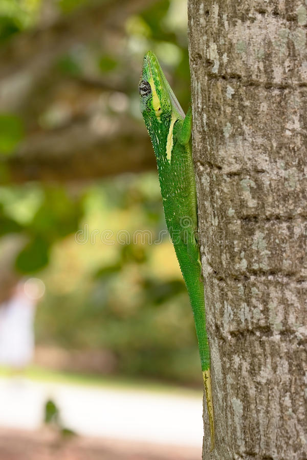 Green Cuban Anole royalty free stock photography