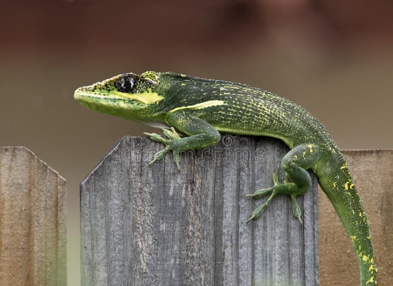 Green Cuban Knight Anole Crossing Wooden Fence stock images