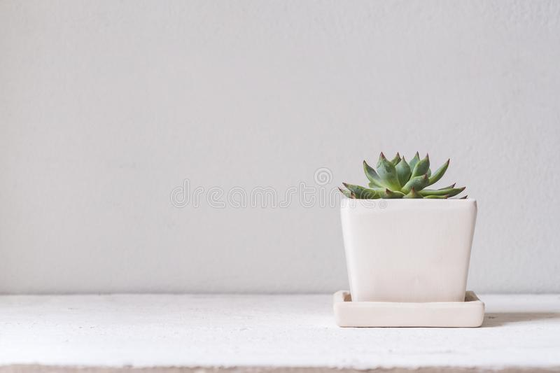 Green cucculent plant in white flower pot. Potted succulent house plants on white table against white wall. Minimal Green nature royalty free stock photos
