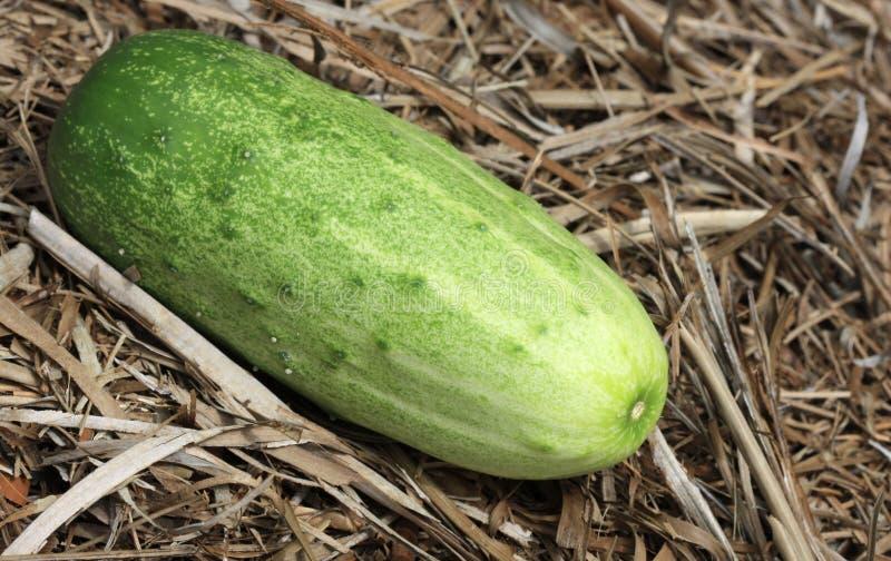 Green Cucumber Stock Photos