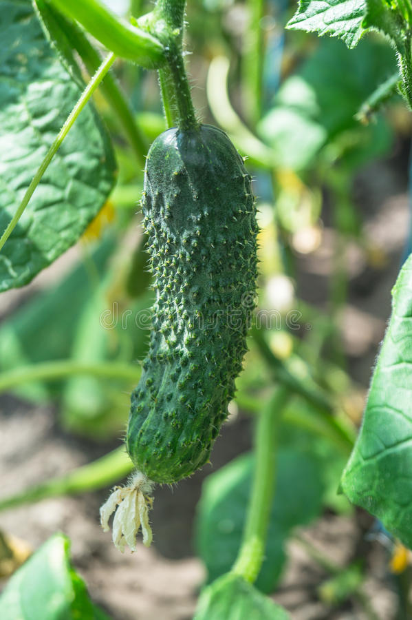 Download Green Cucumber Stock Photo - Image: 83707635