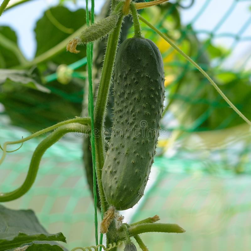 A green cucumber grows on a cucumber bush in the garden. A fresh green cucumber grows on a cucumber bush in the garden. Growing organic food. Cucumbers harvest royalty free stock photography