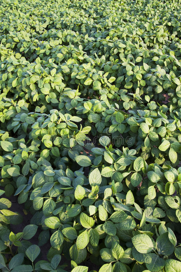 Green cultivated soy field stock photos