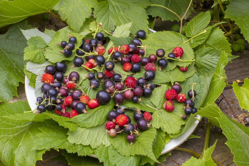 Green currant leaves, red ripe berries of strawberries and strawberries. Dark-violet berries of a currant on a white plate in the. Green currant leaves, red ripe stock photography