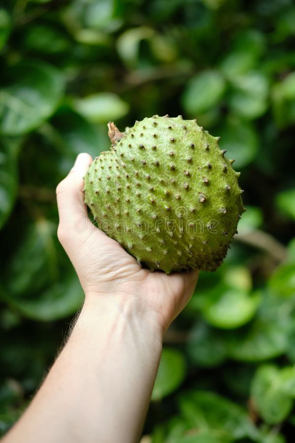 Green Custard Apple Fruit or Sweet Soursop in Hand stock image