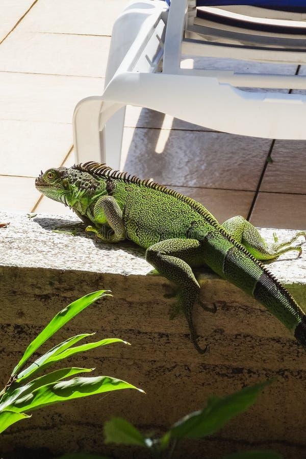 Green cute iguana sitting on the stone royalty free stock photos