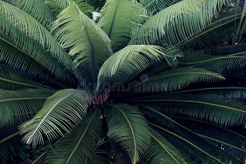 Green cycas leaf pattern, natural texture background concept. Copy space palm plam tree plant deep dark elegant backdrop nature grow relaxation tropical royalty free stock images