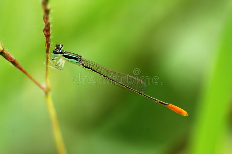 Green Damselfly Perched on Plant Stem at Daytime royalty free stock photo