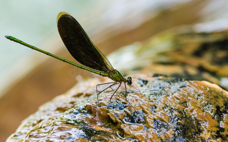 GREEN DAMSELFLY ON THE WATER royalty free stock photos