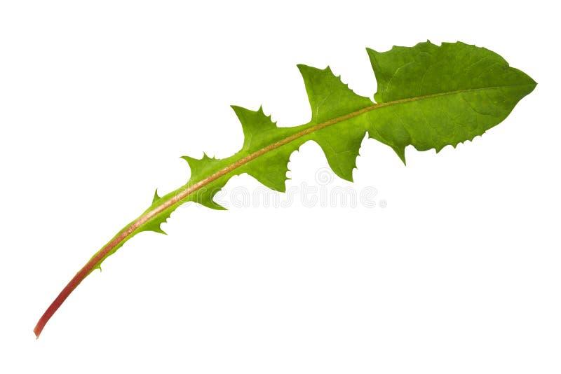 Green dandelion leaf stock images