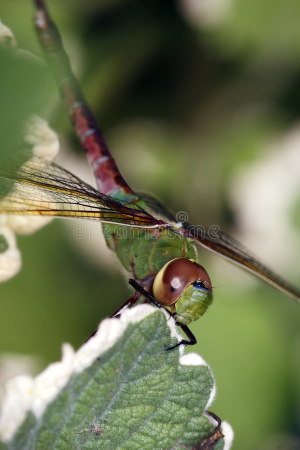 Free Green Darner Royalty Free Stock Photo - 6990945