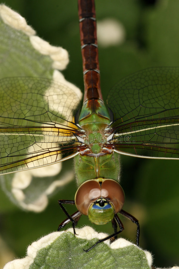 Free Green Darner Royalty Free Stock Photo - 6991255