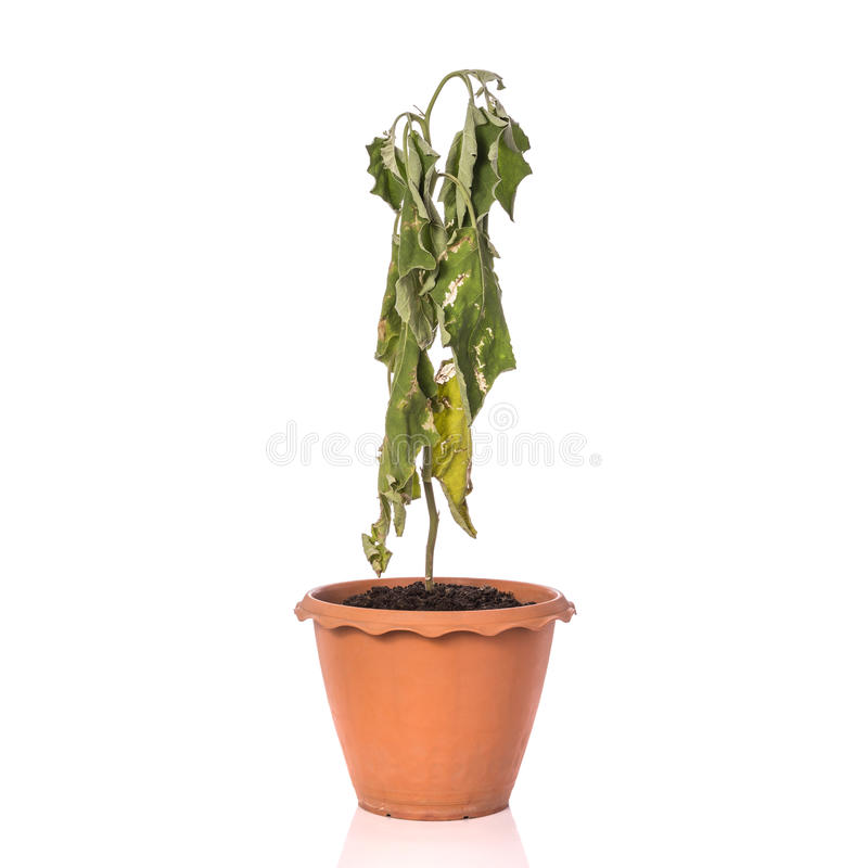Green dead plant in potted. Studio shot isolated on white royalty free stock images
