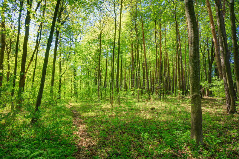 Green Deciduous Forest Summer Nature. Sunny Trees And Green Gras royalty free stock image