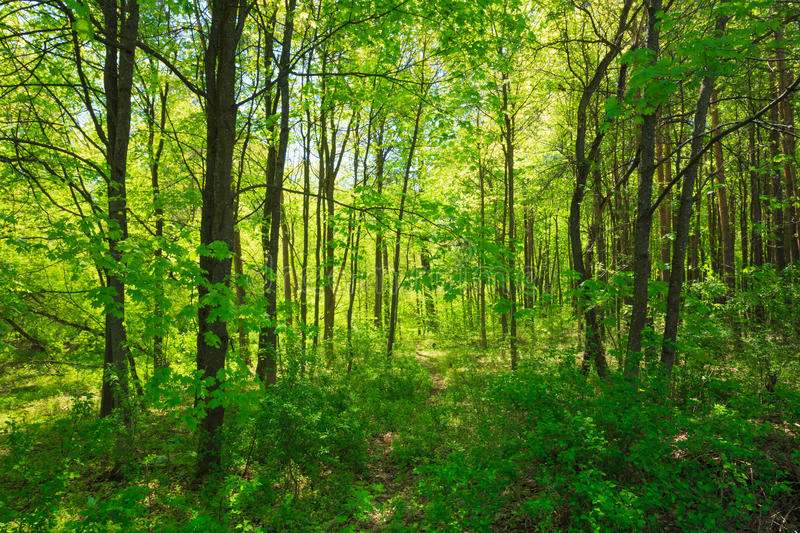 Green Deciduous Forest Summer Nature. Sunny Trees royalty free stock photos