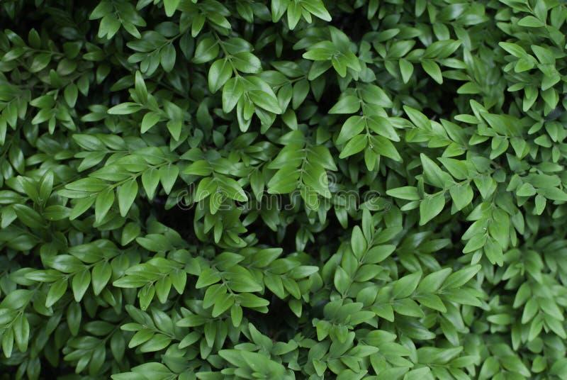 Green decorative bush foliage. Natural leaves background. royalty free stock photos
