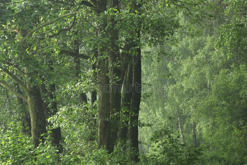Green, wild forest. Green, dense wild forest with light mist from the rising sun stock photography