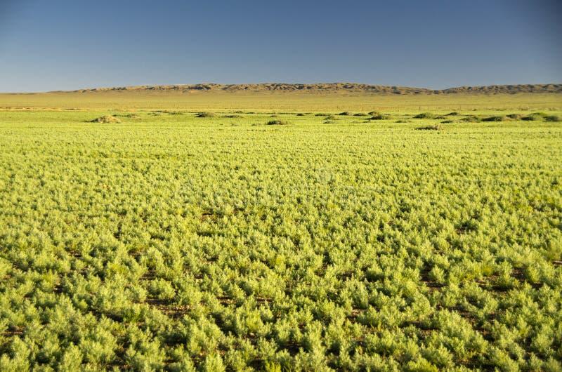 Green Desert, Gobi, Mongolia royalty free stock images
