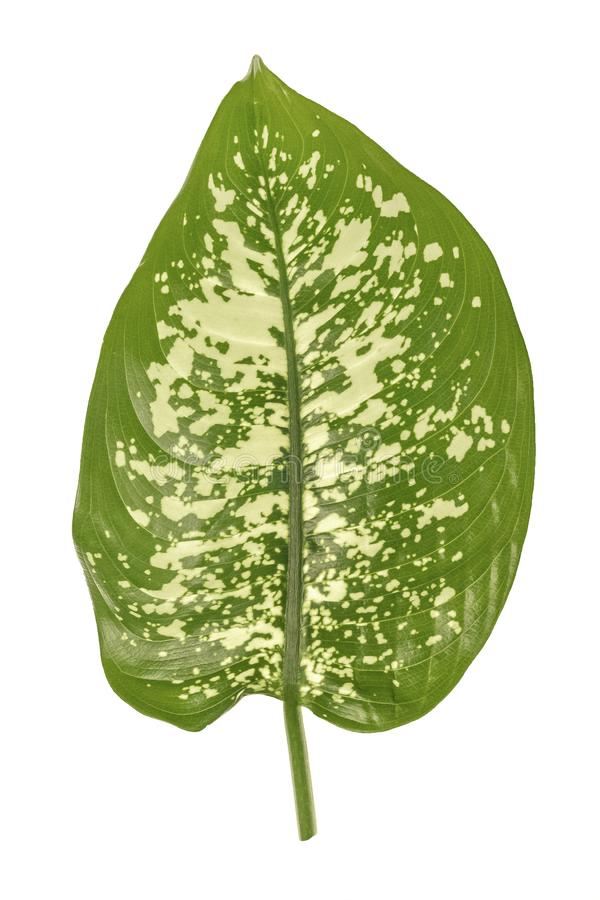 Green dieffenbachia leaf, dumb cane, containing white spots and flecks. Tropical foliage isolated on white background royalty free stock photos