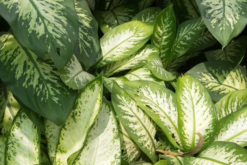 Green Dieffenbachia Leaf royalty free stock photo