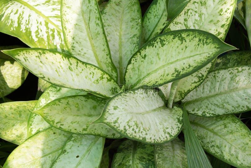 Green Dieffenbachia Leaf royalty free stock photos