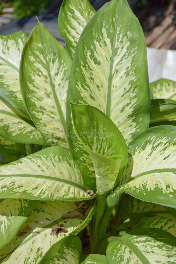 Green Dieffenbachia leaf in nature garden. Close up green Dieffenbachia leaf in nature garden stock photography